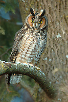 A long-eared owl in a rarely seen, alert pose.