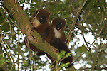 lemur bambou