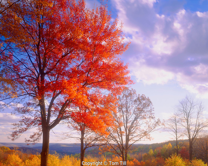 Sugar Maple at Sunset, Alleghany State Park, Appalachian Mountains, New York, Acer saccharum