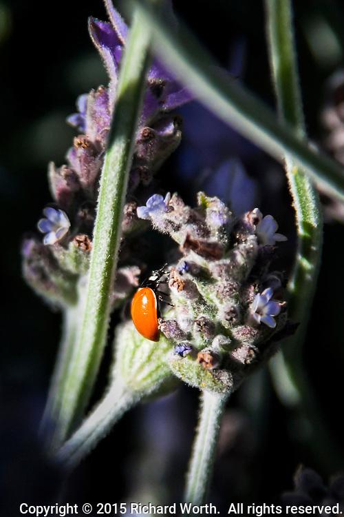 A Ladybug, technically a Lady Beetle, explores a lavender flower.