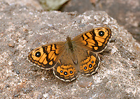 Wall Brown Lasiommata megera Wingspan 45mm. A well-marked, sun-loving butterfly. Adult has orange-brown upperwings; patterns and colour recall a fritillary butterfly but note the small eyespots on the wings. Double-brooded: flies April–May and July–September. Larva feeds on grasses and is strictly nocturnal. Widespread in England and Wales but declining and now rather scarce; easiest to see on grassy heaths and on coasts.
