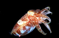 A CUTTLE FISH IN HIS FULL SPLENDOR, PHILIPPINE SEA UNDERWATER.CUTTLE FISH, SEPIA SP.