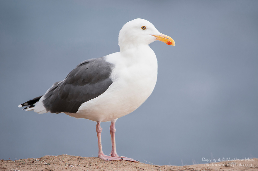 La Jolla Cove, La Jolla, California; an adult Western Gull (Larus occidentalis) standing on the cliffs overlooking the Pacific Ocean