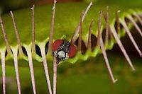Venusfliegenfalle, Venus-Fliegenfalle, Fliege als Beutetier, Fliege ist im geschlossenen Fangblatt eingesperrt, Fangblatt, Fleischfressende Pflanze, Karnivore, Insektivore, Dionaea muscipula, Zuchtform, Venus Flytrap, Venus's Flytrap, Venus' Flytrap, Venus Fly Trap, Venus's Fly Trap, Venus' Fly Trap, Fly-Trap