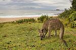 Eastern Grey Kangaroo (Macropus giganteus) female grazing at the coast, Pebbly Beach, Murramarang National Park, New South Wales, Australia