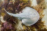 Thornback Ray (Platyrhinoidis triseriata). California, USA. eastern Pacific Ocean