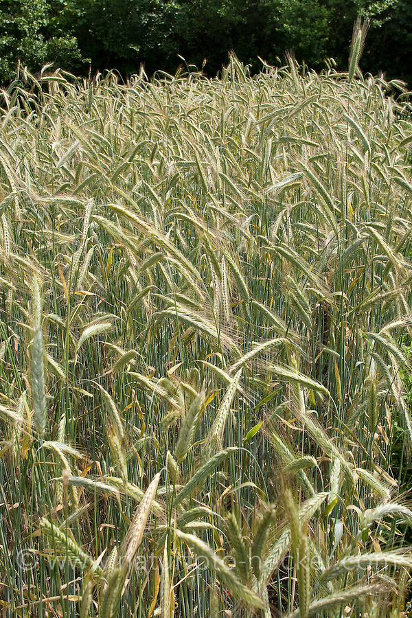 Roggen, Saat-Roggen, Roggenanbau, Roggenfeld, Acker, Secale cereale, Rye