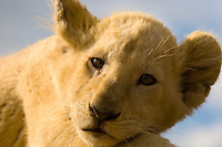 3 1/2 month old White Lion cub (a rare breed), Lion Park, Johannesburg, South Africa