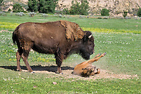 American Bison (Bison bison) cow and calf.  Calf is rolling in dust/dirt bath.  Western U.S., summer.