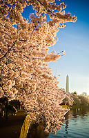 Cherry Blossoms Washington Monument Tidal Basin Washington DC Cherry Blossoms Tidal Basin Washington DC<br /> Cherry Blossoms blooming around the Tidal Basin in Washington, DC symbolize the natural beauty of our nation's capital city and has become part of Washington, D.C.'s rite of spring. Landmarks include the Jefferson Memorial, Washington Monument, and US Capitol. A popular tourist attraction and travel destination for many visiting Washington, D.C.