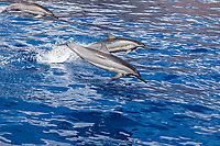 Three spinner dolphin, Stenella longirostris, leap into the air at the same time off the island of Lanai, Hawaii, Pacific Ocean