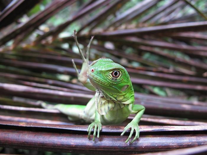 Iguanilla. Clayton, Panamá
