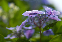 Delicate purple-blue hydrangea flowers during the Japanese rainy season, Shimosuwa, Nagano, Japan. Hydrangea are a symbol of the rainy season, or tsuyu, in Japan. July 10 2008
