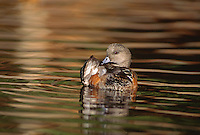 35-B02-WA-128   AMERICAN WIDGEON (Mareca americana) female preening feathers on pond in evening light, western Oregon, USA.