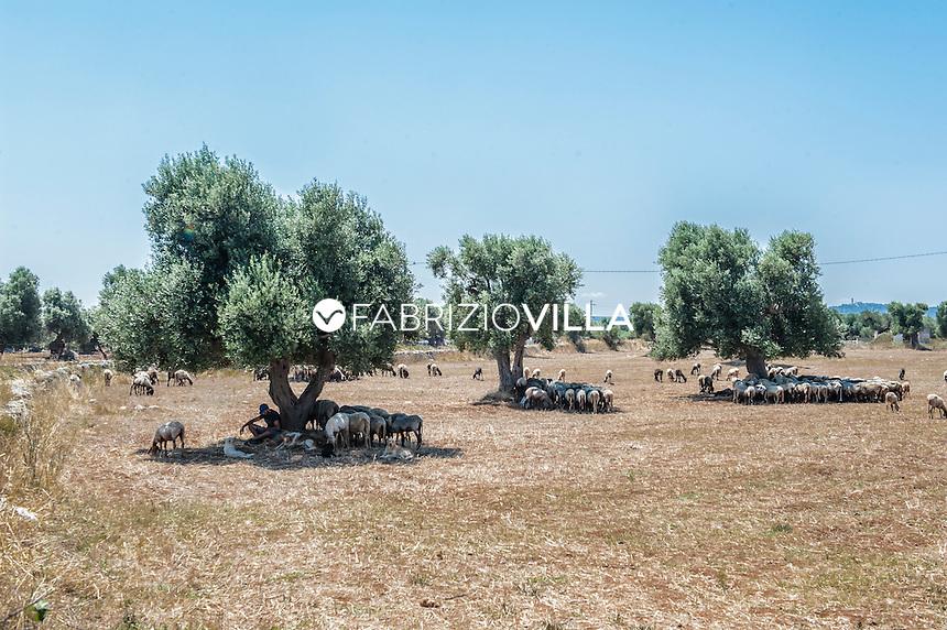 Coltivazioni di ulivi in Puglia.