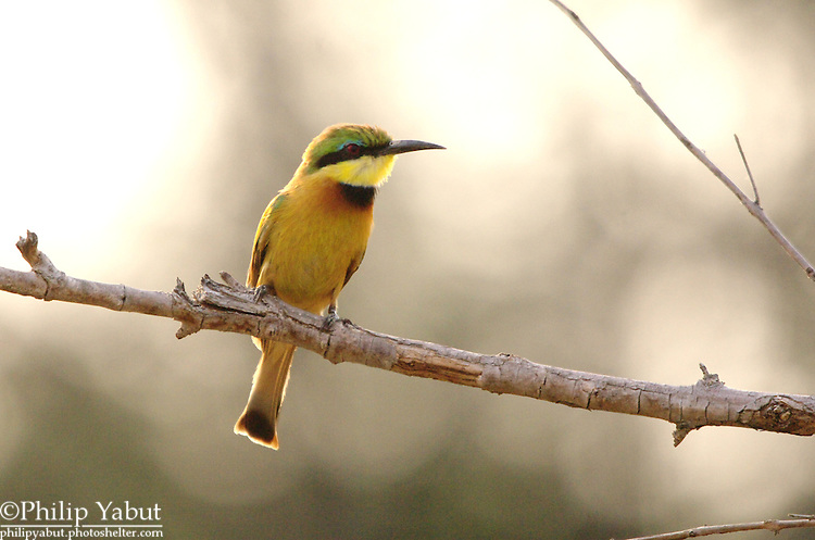 Little bee-eater (Merops pusillus), Hwange National Park, Zimbabwe