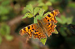 Comma butterfly Polygonia c-album, wings open resting on leaf, brown yellow. .United Kingdom....