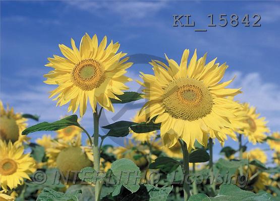 Interlitho, Helga, FLOWERS, portrait, macro, photos, sunflowers, KL, KL15842,#F# Blumen, flores, retrato