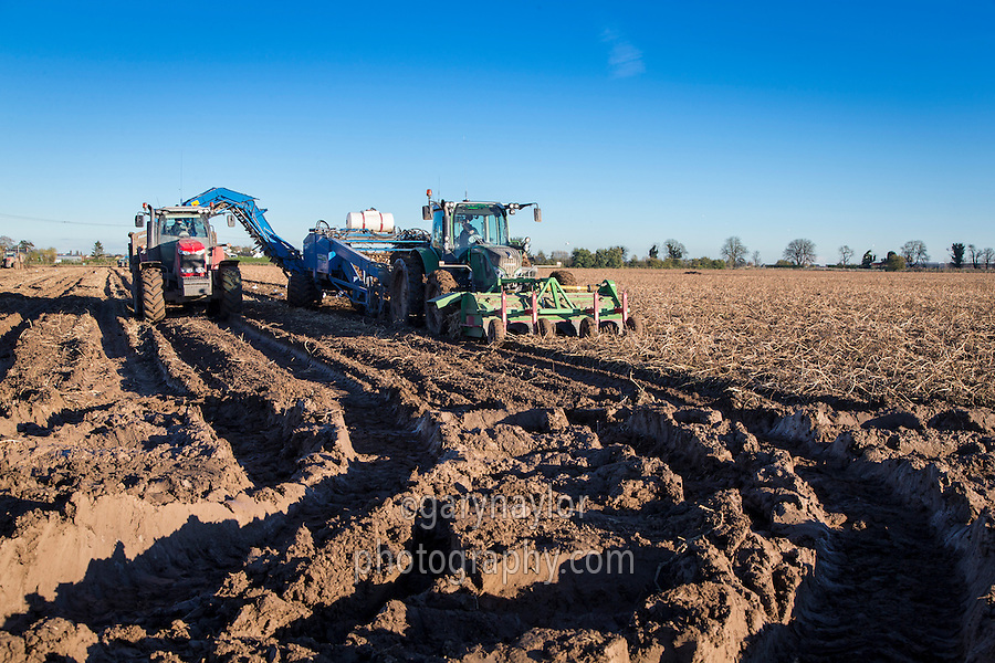 Harvesting potatoes in wet muddy conditions after heavy rainfall; November, Lincolnshire