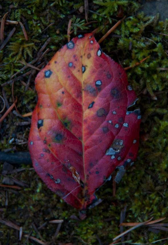 Fallen Leaf, Stuart Island, San Juan Islands, Washington, US