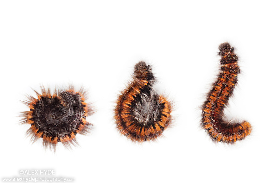 Fox Moth caterpillar {Macrothylacia rubi} sequence unrolling from defensive posture. The caterpillar is covered with irritating (urticating) hairs that defend it from predators. Found on open moorland, Peak District National Park, Derbyshire. October. Digital Composite.