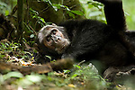 Africa, Uganda, Kibale National Park, Ngogo Chimpanzee Community. Adult male chimpanzee, Corea