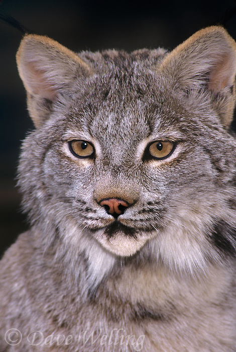 657149041 portrait of a canadian lynx felis lynx - animal is a wildlife rescue animal and species is native to the northern tier of north america and is endangered in the wild