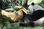 Foto: VidiPhoto<br /> <br /> RHENEN &ndash; Voor het eerst van hun leven maakten de reuzenpanda Xing Ya en Wu Wen in Ouwehands Dierenpark vrijdag kennis met een reuzenpompoen van 200 kilo. De giga lekkernij was gevuld met appels, wortelen, pandabrood en bamboe. Zonder de hulp van de verzorgers zouden ze er niets van geproefd hebben, want die waren het die de &lsquo;deksel&rsquo; van het gevaarte moesten halen. Vervolgens werd de uitgeholde pompoen netjes leeggevreten. Het aanbieden van deze traktatie is een vorm van verrijking. Nederlandse dierenparken proberen zoveel mogelijk het natuurlijk gedrag van dieren te stimuleren. Variatie aanbrengen in voedsel en de manier van aanbieden wordt veel als verrijking toegepast.  De reuzenpanda is een bedreigde diersoort en komt alleen in China in het wild voor. De laatste telling heeft aangetoond dat er nog 1.864 reuzenpanda&rsquo;s in het wild leven.