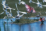 Heron and Spoonbill, Everglades National Park
