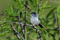536050005 a wild black-tailed gnatcatcher polioptila melanura perches in a mesquite bush in montosa canyon near green vally arizona united states