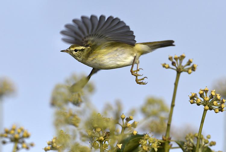 Yellow-browed Warbler - Phylloscopus inornatus