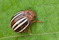 False Potato Beetle; Leptinotarsa juncta; PA, Ambler; Gwynedd Wildlife Preserve;