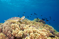 A green sea turtle, Chelonia mydas, resting on the coral gardens of Apo Island, Philippines, Indo-Pacific Ocean