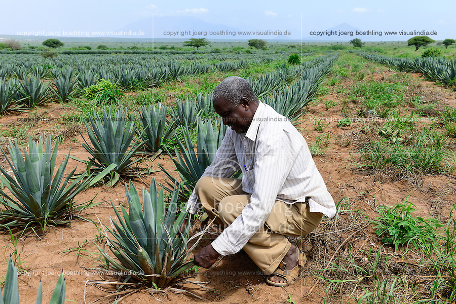 TANZANIA Tanga, Usambara Mountains, Sisal farming and industry, D.D. Ruhinda & Company Ltd., Mkumbara Sisal estate, new planted Agave Sisalana / TANSANIA Tanga, Usambara Berge, Sisal Anbau und Industrie, D.D. Ruhinda & Company Ltd., Mkumbara Sisal Estate, Neupflanzung Sisalpflanze Agave Sisalana, Farm Manager Khalidi Mgundo