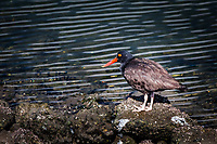 A Black oyster catcher, with its bright red bill and yellow eye ringed with red, stands motionless, posing, on the rocky shoreline at Martin Luther King Jr. Regional Shoreline, Oakland, California.