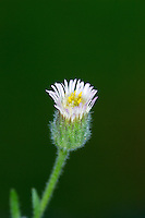 BLUE FLEABANE Erigeron acer (Asteraceae) Height to 30cm<br /> Roughly hairy annual or biennial; stems are stiff and tinged reddish. Grows in dry, grassy places and on coastal shingle and dunes. FLOWERS are borne in heads, 12-18mm across, the bluish purple ray florets mainly concealing the yellow disc florets; in clusters (Jun-Aug). FRUITS are achenes. LEAVES are spoon-shaped and stalked at base of plant; narrow and unstalked on stem. STATUS-Widespread only in England and Wales.