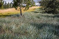 Leymus condensatus 'Canyon Prince' groundcover grass native plant in urban park landscape design meadow garden, Jeffrey Open Space, Irvine California