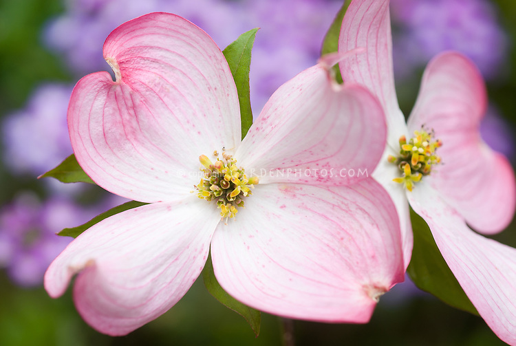 Cornus florida Pink flowered dogwood closeup of blossom in spring bloom