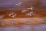 Sandhill cranes fly in for a landing,  Bosque del Apache National Wildlife Refuge, New Mexico, USA
