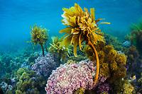 Stalked kelp, Pterygophora californica, and colorful purple algae grows on a rocky bottom near the Santa Barbara Island, Channel Islands National Park, Channel Islands National Marine Sanctuary, California, USA, Pacific Ocean