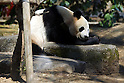 "April 1, 2011, Tokyo, Japan - A female giant panda ""Shin Shin"" is seen at Ueno Zoo in Tokyo on Friday, April 1, 2011, on the first day its appearance with a fellow male panda ""Ri Ri"", not seen, to the public. Thousands of visitors flocked to catch a first glimpse of a pair of pandas on loan from China, in a welcome respite from the gloom over last month's massive earthquake and tsunami in northern Japan. (Photo by Daiju Kitamura/AFLO) [1045] -ty-.."