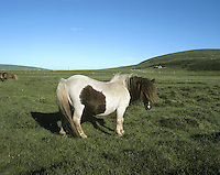 Shetland Pony Equus ferus caballus is tiny, usually 1m at the shoulder.