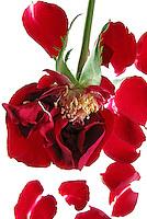 Flores. Rosa desfolhada ( Rosa x grandiflora). SP. Foto de Manuel Lourenço.