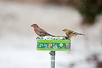 00585-03818 House Finch (Carpodacus mexicanus) male and American Goldfinch (Carduelis tristis) on holiday bird feeder in winter, Marion Co., IL