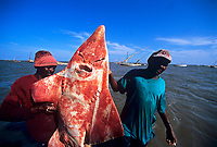 sharkfishing, Fisherman with White Spotted Shovelnose Shark Rhynchobatus djiddensis caught with gill net. Maputo, Mozambique, Africa, Indian Ocean