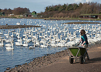 Warden feeding water birds. From November until March 2,000 Whooper swans migrate from Iceland to spend the winter in West Lancashire - a spectacle that is unique to the North West. The swans are fed to grain or waste potatoes to try to keep them on the reserve and away from farmer's fields.