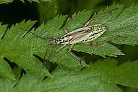 Graswanze, Gras-Wanze, Weibchen, Leptopterna dolobrata, meadow plant bug, Weichwanze, Miridae