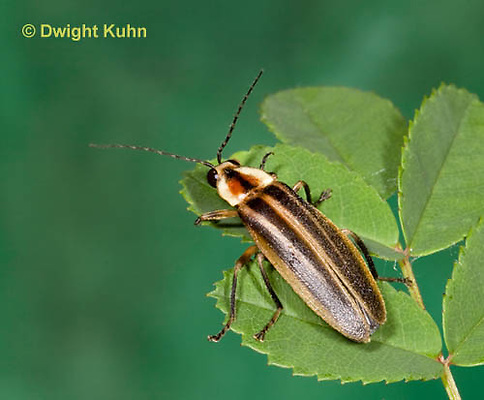 1C24-527z  Firefly Adult - Lightning Bug - Photuris spp.