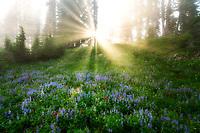 God rays through forg and trees with wildflowers. Mt. Rainier National Park, Washington