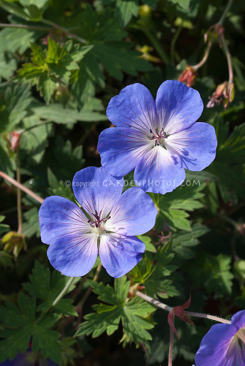 Geranium Rozanne in blue flowers